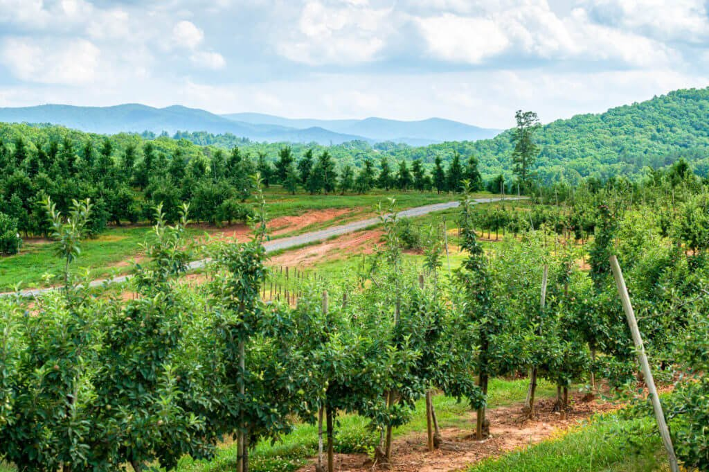 Photo of apple orchards in Georgia