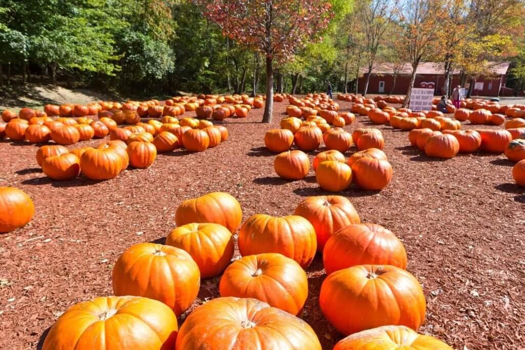 Photo of Burt's Pumpkin Farm, showing lots of pumpkins for sale