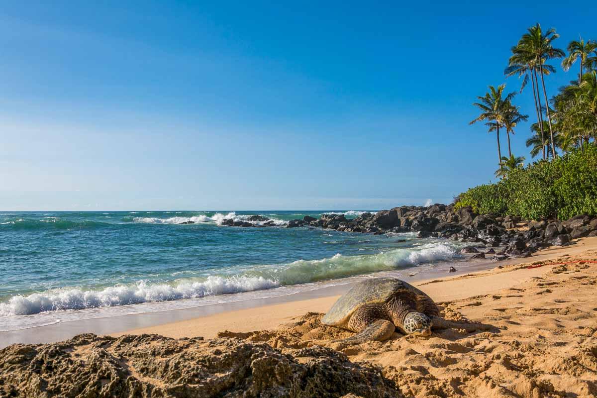 Turtle basking at Laniakea Beach on Oahu's North Shore.